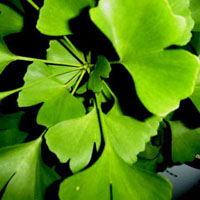 ginkgo for depression